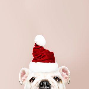 adorable-animal-bulldog-1799423